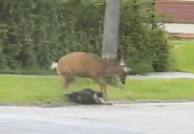Primeiro, fêmea de veado atacou um cão. (Foto: Reprodução/YouTube)