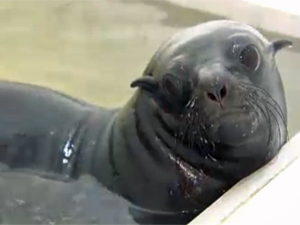 Pia, the wayward seal pub is being released at sea after six month rehab at the Municipal Aquarium of Santos