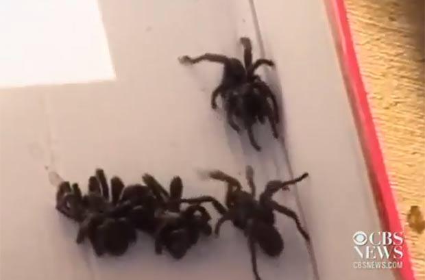 Moradores de um bairro em San Antonio ficaram assustados por conta da invasão de 'aranhas gigantes'. (Foto: Reprodução/CBS)
