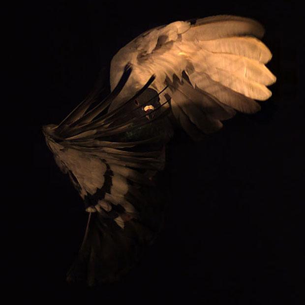 Pombos durante análise de voo feita na Universidade Harvard  (Foto: Cortesia/S.A. Combes)