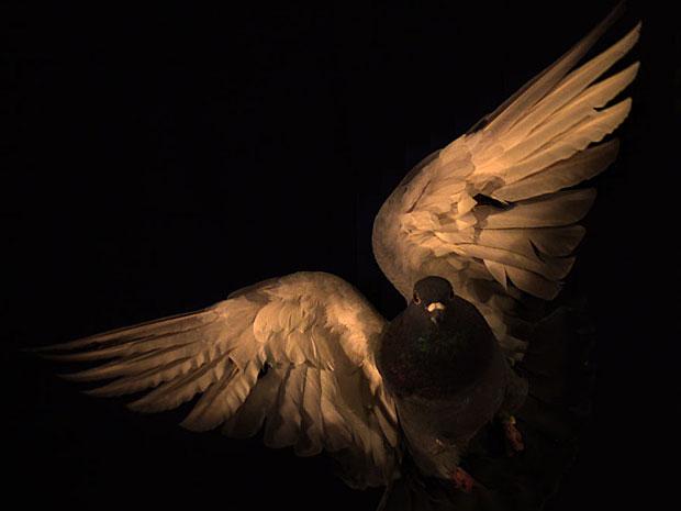 Foto feita durante estudo do padrão do voo dos pombos (Foto: Cortesia/S.A. Combes)