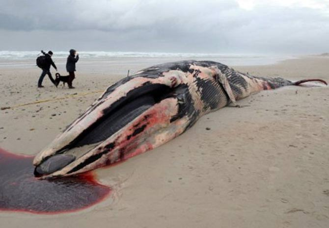 Um exemplar de baleia-de-bossa, pertencente à família das Balaenopteridae, com cerca de 20 toneladas foi encontrado nesta terça-feira (29) por surfistas em uma praia na região de Pointe de la Torche, próximo  à cidade de Brest, no oeste da França. (Foto: Fred Tanneau/AFP)