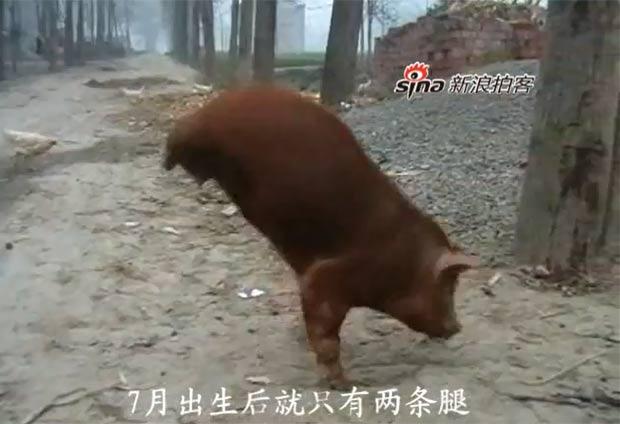 Porco aprendeu a andar apenas com as patas dianteiras. (Foto: Reprodução/YouTube)