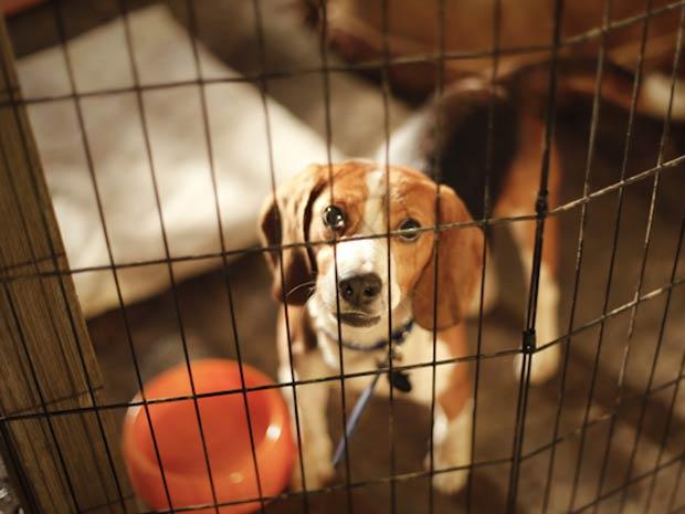 Falência de laboratório espanhol liberta 72 beagles cobaias (Foto: BBC)