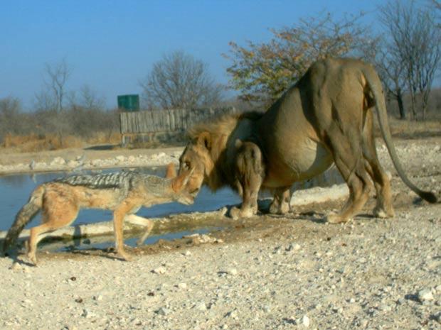 Na primeira foto de uma sequência, o chacal se aproxima do leão, que está próximo a um lago (Foto: Ken Stratford, Ongava Research Centre/BBC)