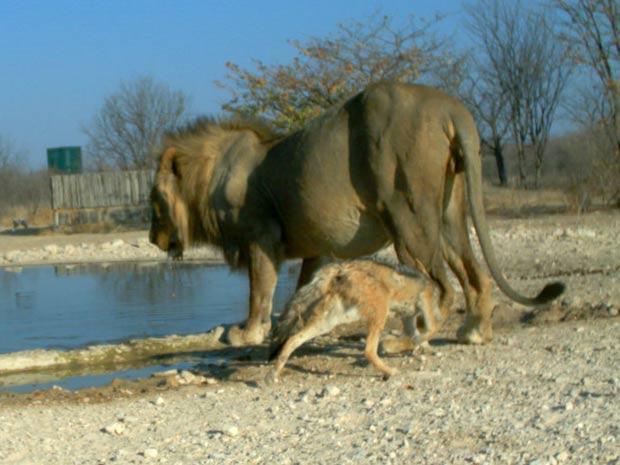 O chacal se aproxima por trás do leão... (Foto: Ken Stratford, Ongava Research Centre/BBC)