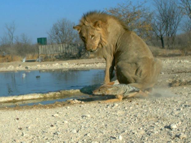 ... que confere um golpe no chacal com o rabo (Foto: Ken Stratford, Ongava Research Centre/BBC)