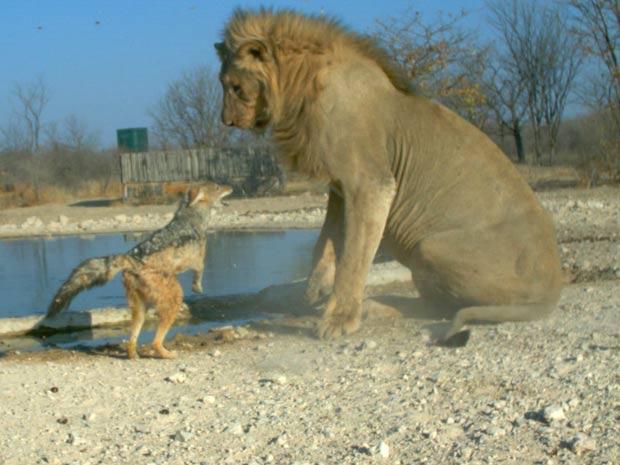 """Chacal ataca leão durante confronto batizado de """"Davi versus Golias"""", fotografado na Namíbia (Foto: Ken Stratford, Ongava Research Centre/BBC )"""
