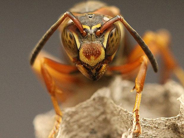 Vespa da espécie estudada pelos pesquisadores da Universidade de Michigan (Foto: Science/AAAS)
