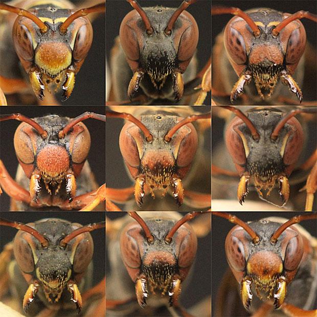 Parece tudo igual? Pois as vespas conseguem reconhecer as diferenças (Foto: Science/AAAS)