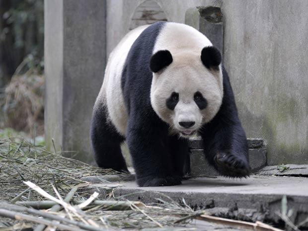 O panda Yang Guang no centro de reprodução de Chengdu. Ele e uma fêmea embarcaram para o Reino Unido (Foto: Reuters/China Daily)