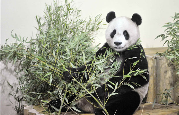 O panda gigante Yang Guang se acomoda em seu novo lar, no zool&#243;gico de Endimburgo, ap&#243;s uma viagem direta da China. Ele e outro panda gigante s&#227;o os primeiros a viveem no Reino Unido nos &#250;ltimos 20 anos  (Foto: Reuters)