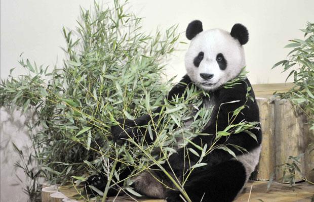 O panda gigante Yang Guang se acomoda em seu novo lar, no zoológico de Endimburgo, após uma viagem direta da China. Ele e outro panda gigante são os primeiros a viveem no Reino Unido nos últimos 20 anos  (Foto: Reuters)