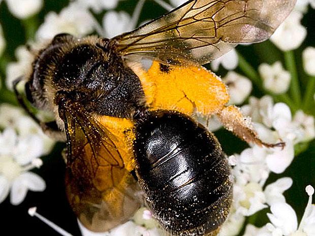 Cientistas temem que ciclo de abelhas e plantas acabe ficando desincronizado (Foto: Cortesia/S. Nanz)