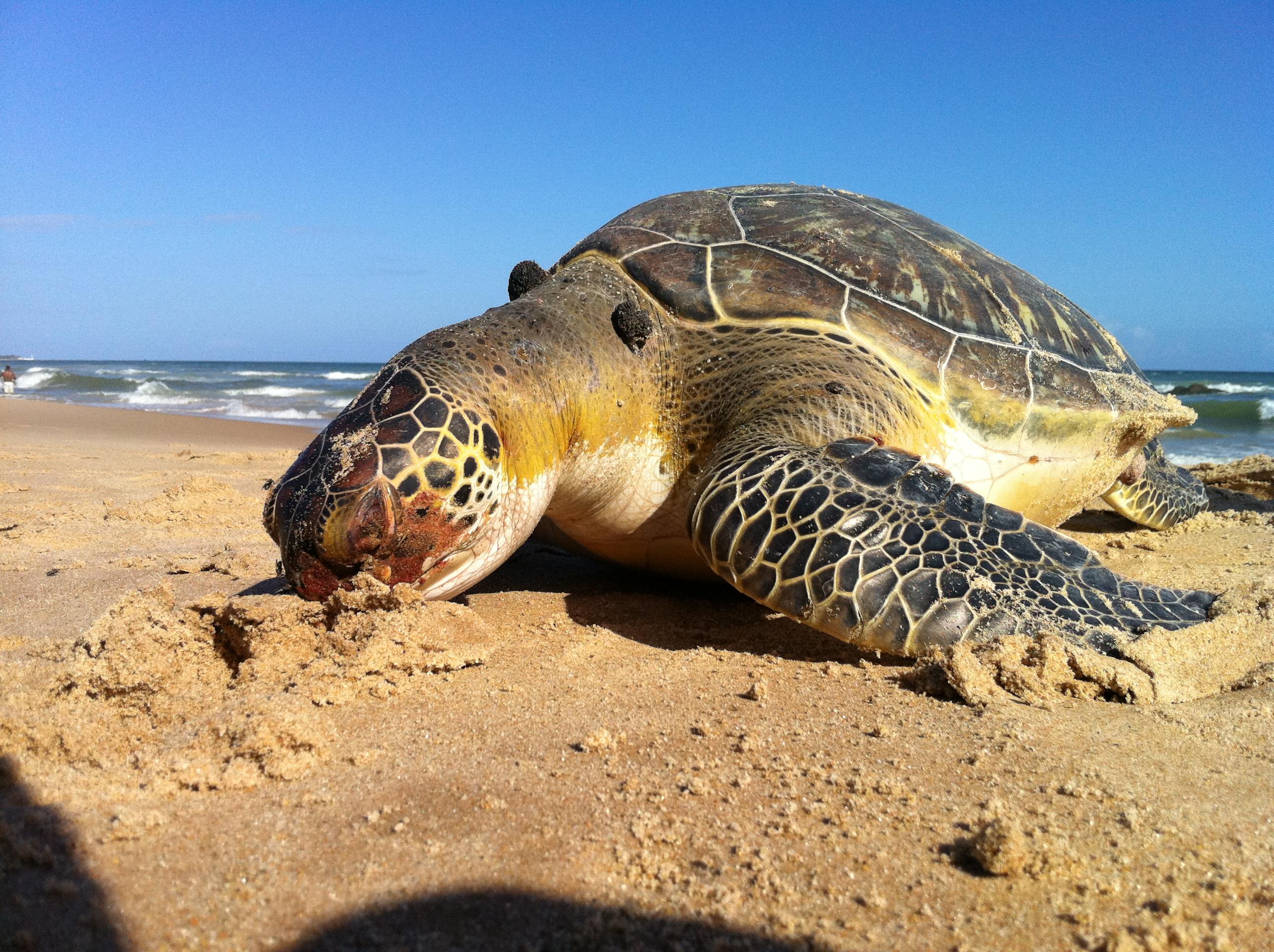 Tartaruga na praia de Patamares em Salvador (Foto: Renan Pinheiro/ TV Bahia)