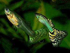 Macho e fêmea da espécie (Foto: Wikimedia Commons)
