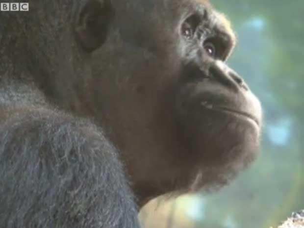 Casamento 'arranjado' de gorilas em zoo tem fim trágico nos EUA (Foto: BBC)