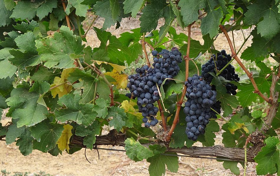Sete vinícolas estão instaladas na região do Vale do Rio São Francisco, nos estados de Pernambuco e Bahia
