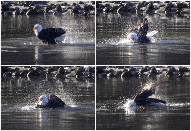 Andy Clark flagrou águia durante pescaria em um rio em Squamish. (Foto: Andy Clark/AP)