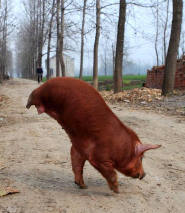 Porco nasceu em fazenda em Mengcheng, na província de Anhui. (Foto: AFP)