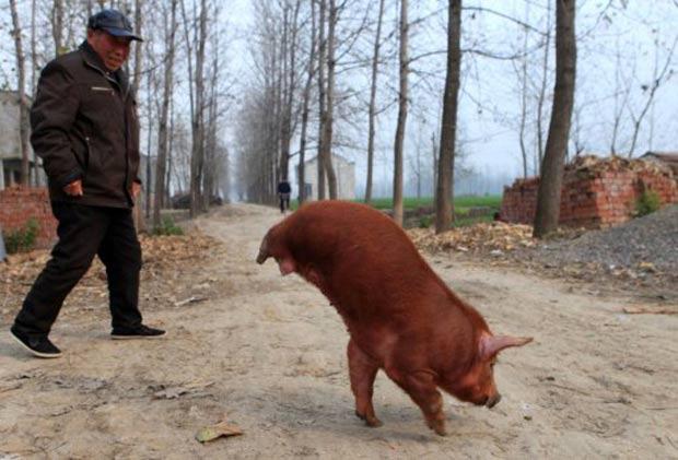 Porco consegue equilibrar seus 30 quilos no ar e andar com as patas dianteiras. (Foto: AFP)