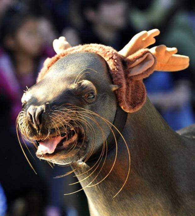 Leão-marinho usou 'chifres' e virou rena em show no Japão. (Foto: Yoshikazu Tsuno/AFP)