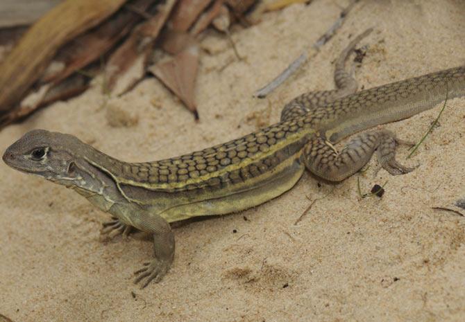 Espécie de lagarto (Leiolepis ngovantrii) que se clona e descarta a reprodução com exemplares machos. (Foto: L. Lee Grismer/WWF/Reuters)