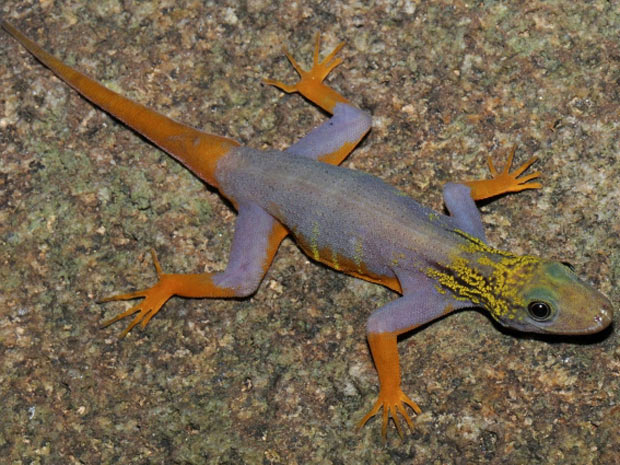 Lagarto-gecko-psicodélico encontrado na região do Grande Mekong, no Sudeste Asiático. (Foto: L. Lee Grismer/WWF/Reuters)