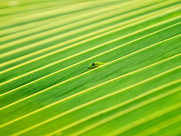 Lagarto se esconde em folha de palmeira no Havaí. (Foto: Lorenzo Menendez/National Geographic Photo Contest)