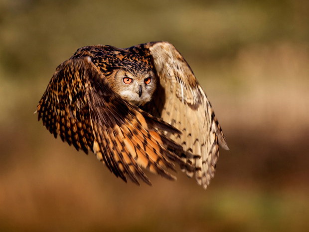 Voo da maior espécie de coruja do planeta. (Foto: Mark Bridger/National Geographic Photo Contest)