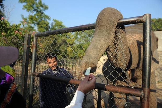 Elefante foi fotografado usando a tromba para pegar 'gorjeta' no zoo de Islamabad. (Foto: Aamir Qureshi/AFP)