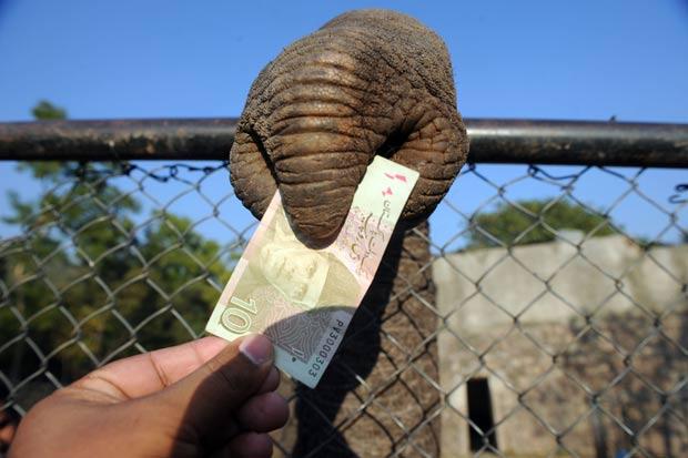 Visitante deu uma nota de 10 rúpias paquistanesas ao animal. (Foto: Aamir Qureshi/AFP)