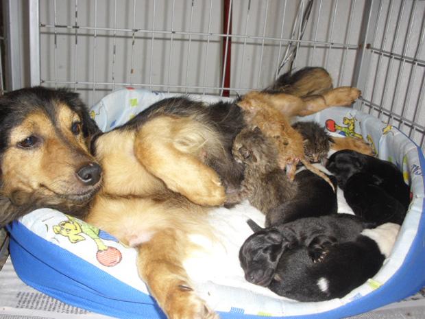Cachorra se tornou ama de leite dos gatos encontrados (Foto: Divulgação/ Clube dos Vira-Latas)
