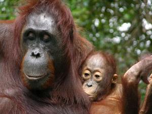 Orangotango da Indonésia ATENÇÃO: A FOTO SÓ É CEDIDA PRA UMA PAUTA ESPECÍFICA, NÃO REUTILIZE (Foto: Erin Vogel)