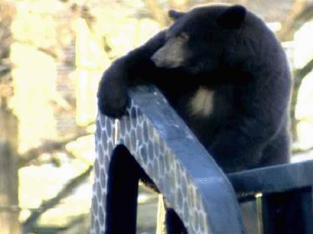 Urso 'pega carona' em caminhão de lixo no Canadá (Foto: BBC)