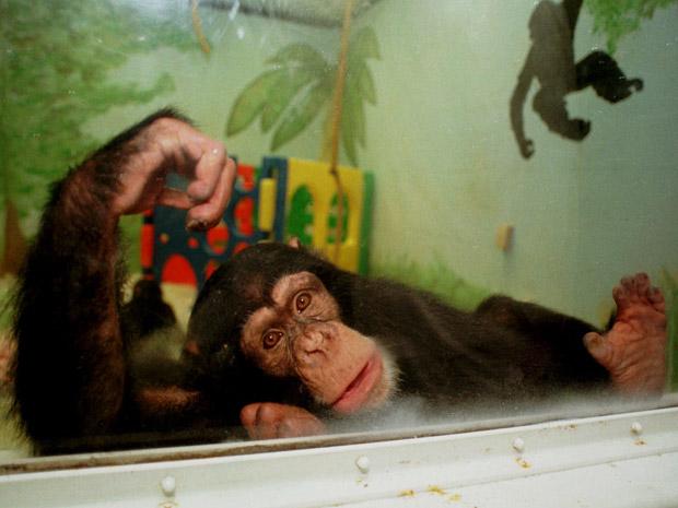 Foto de arquivo de chimpanzé utilizado em pesquisas científicas nos EUA (Foto: AP Photo/Terry Gilliam)