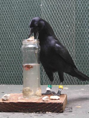 Corvo usa pedras para alcançar alimento na água (Foto: Russell Gray)