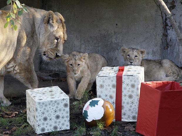 leões na Inglaterra (Foto: Kirsty Wigglesworth/AP)