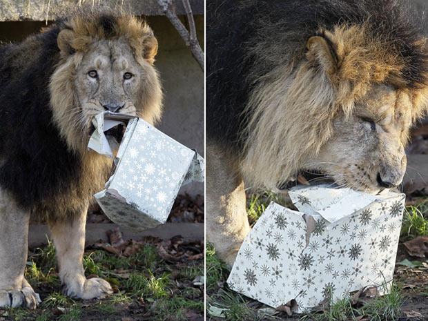 Mas em compensação, o pai deles, o macho Lucifer, praticamente devorou a caixa de presente em busca da carne. (Foto: Kirsty Wigglesworth/AP)
