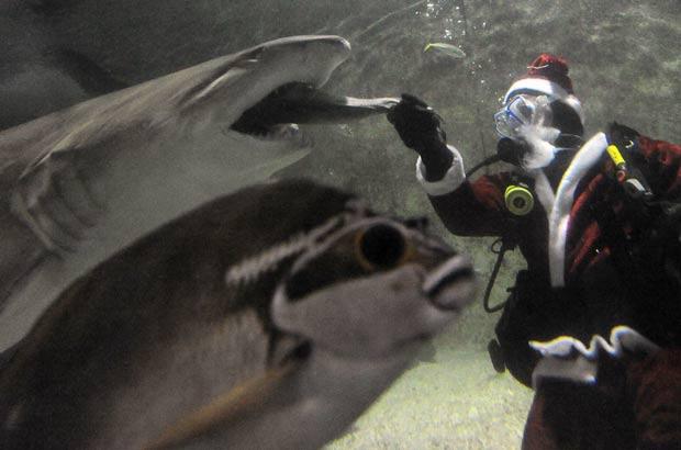 Cena foi registrada no aquário Oceanworld. Aquário tem maior coleção de tubarões-touro da Austrália. (Foto: AFP)