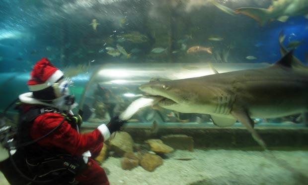 Um mergulhador se fantasiou de Papai Noel na sexta-feira (16) e deu comida na boca de tubarões em um aquário em Sydney, na Austrália. (Foto: AFP)