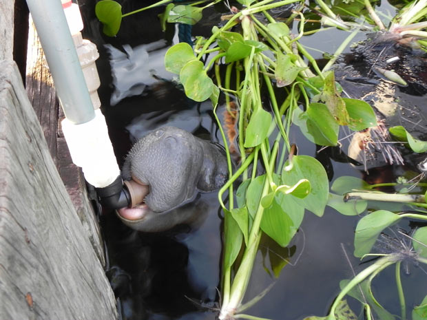 Mamadeira subaquática facilita alimentação de filhotes de peixe-boi e evita contato de animais com humanos (Foto: Divulgação)