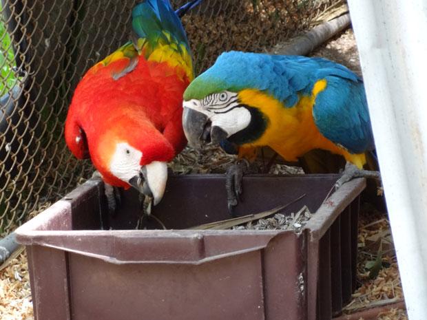 Araras fêmeas do Mini Zoo da Renenção, em Porto Alegre, vivem juntas há 20 anos (Foto: Tatiana Lopes/G1)