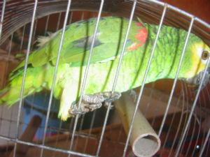 Entre os animais apreendidos estava uma papagaio sem documentação de legalização. (Foto: Polícia Ambiental de Sorocaba)