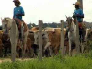 gado pantaneiro (Foto: Reprodução/TVCA)