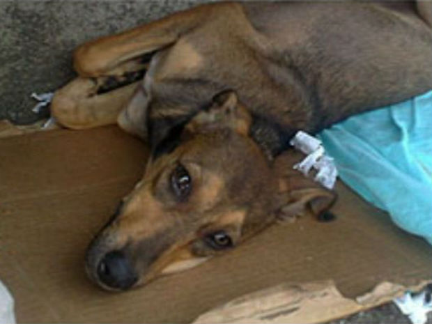 """""""Princesa"""" permaneceu esperando o retorno de seu dono, morto em um atropelamento, na frente de hospital (Foto: Reprodução/TV Gazeta)"""