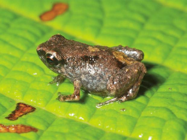 A espécie 'Paedophryne dekot' ganhou esse nome porque 'dekot' significa 'muito pequeno' no idioma daga, que se fala na região onde vive. (Foto: Reprodução)