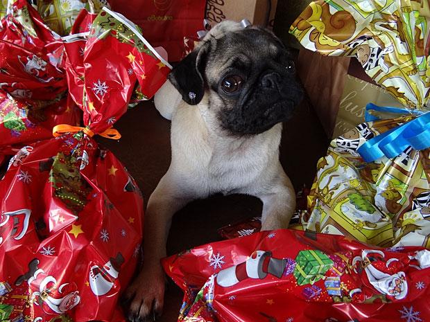 Pug Naomi Campbel (Foto: Luna)