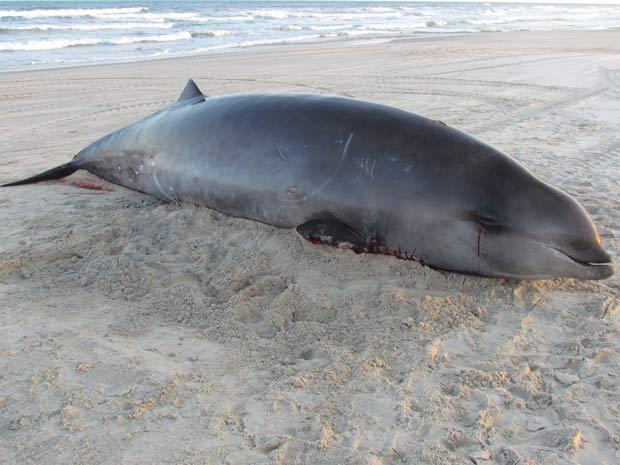 Baleia mede quase seis metros e pesa cerca de uma tonelada e meia (Foto: Paulo Ott/Gemars, Divulgação)