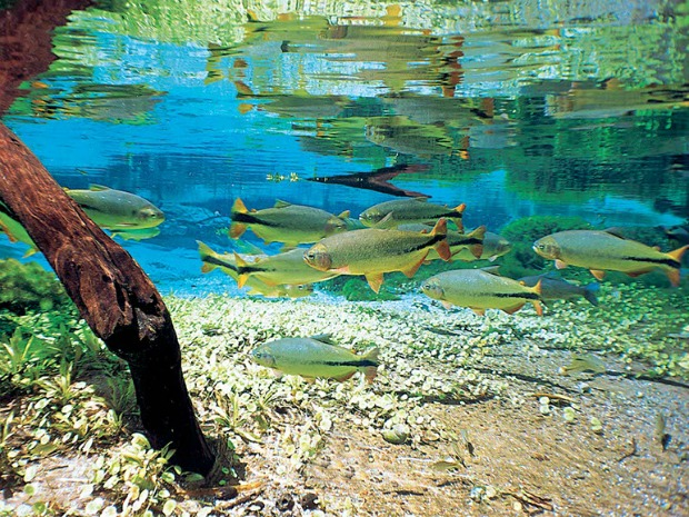 Mergulho no rio da Prata revela cardumes de várias espécies (Foto: Divulgação/Prefeitura de Bonito)